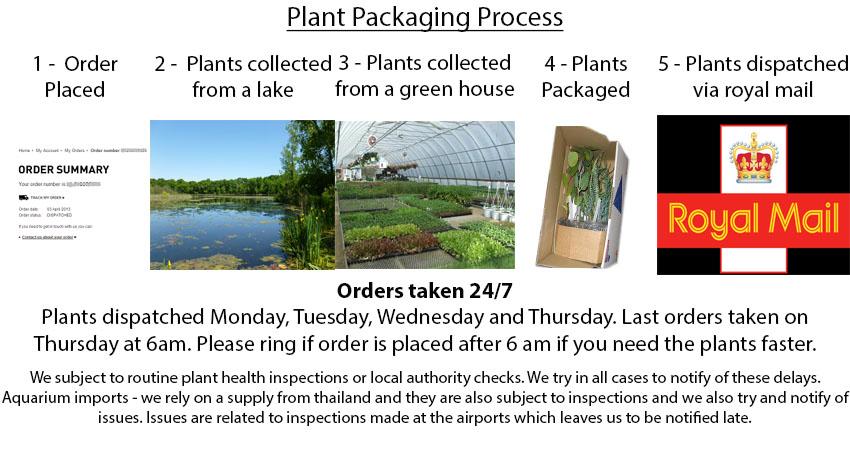 Dutch Rush Equisetum hyemale - Marginal Pond Plants Water Plants-None-9 cm Pond Plants